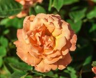 罗斯容易花的等级做它,一朵大花,橙色桃子颜色, 免版税图库摄影