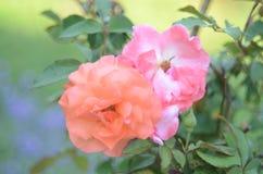 罗斯庭院装饰 免版税库存照片