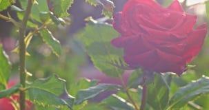 罗斯开花的嫩开花灌木植物在4k关闭的植物园里射击 嫩开花在后照的庭院里上升了 股票录像