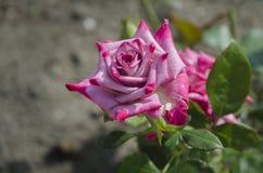 罗斯开花的桃红色花 免版税库存照片