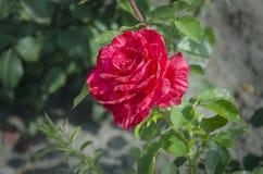 罗斯开花的红色花 免版税库存照片