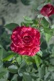 罗斯开花的红色花 免版税库存图片