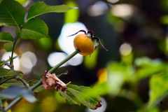 罗斯惊人的果子  库存照片