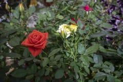 罗斯杂种花和叶子 库存照片