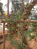 罗斯植物喀拉拉旅游业WAGAMON MUNNAR伊杜克克镇 库存照片