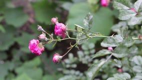 罗斯植物离开和霉菌疾病白粉菌特写镜头损坏的花蕾 影视素材