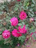 罗斯植物 免版税库存照片