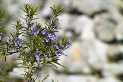 罗斯玛丽工厂(迷迭香属officinalis) 免版税库存照片
