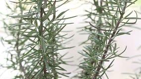 罗斯玛丽植物关闭, loopable 免版税库存照片