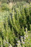 罗斯玛丽自然和绿色与花 图库摄影