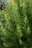罗斯玛丽-草本植物 库存照片