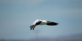 罗斯的鹅在飞行中有蓝天背景 免版税库存图片