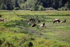 罗斯福麋公牛牧群  免版税库存照片