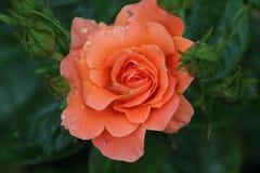 罗斯类型在与一个蔷薇花坛隔绝的特写镜头命名了简短的新闻报道在博斯科普荷兰 免版税库存图片