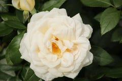 罗斯类型在与一个蔷薇花坛隔绝的特写镜头说出Lion罗斯名字在博斯科普荷兰 库存照片