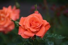 罗斯类型在从一个蔷薇花坛的特写镜头命名了简短的新闻报道在博斯科普荷兰 免版税库存图片