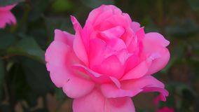 罗斯粉色 股票视频