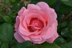 罗斯精美粉色,与开放芽 图库摄影