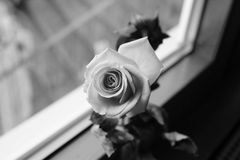 罗斯背景beautifu桃红色,在白色背景隔绝的英国兰开斯特家族族徽 库存照片