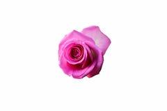 罗斯背景beautifu桃红色,在白色背景隔绝的英国兰开斯特家族族徽 图库摄影