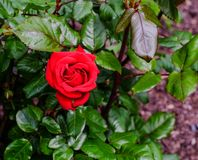 罗斯花园 库存照片