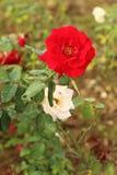 罗斯花在庭院里 库存照片