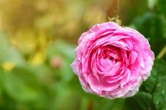 罗斯花在庭院里 图库摄影