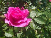 罗斯花在庭院,桃红色瓣里 库存图片