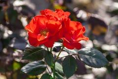 罗斯花等级阿姆斯特丹,猩红色,发光开花 库存图片