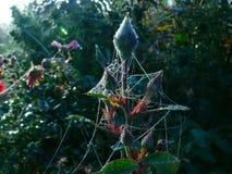 罗斯芽和露水隐蔽的蜘蛛网 免版税图库摄影