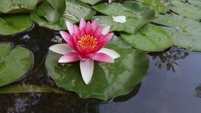 罗斯莲花在庭院湖 免版税库存照片
