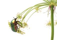 罗斯金龟子Cetonia aurata,在红萝卜花的甲虫  免版税库存图片