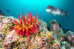罗斯银莲花属和Sheephead在加利福尼亚礁石 图库摄影