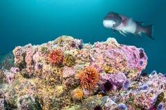 罗斯银莲花属和Sheephead在加利福尼亚礁石 免版税库存照片
