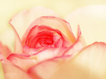 罗斯,双重颜色,特写镜头17 免版税库存图片