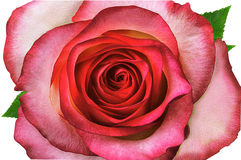 罗斯,花卉背景 免版税库存图片