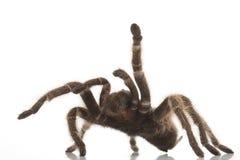 罗斯头发塔兰图拉毒蛛 免版税库存照片