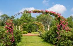 罗斯`在绽放的多萝西珀金斯`在曲拱在伊丽莎白公园玫瑰园里 库存图片