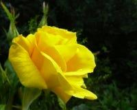 罗斯` Sunsprite与芽的` floribunda 图库摄影