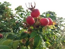 罗斯& x28; Rosa& x29;植物布什用生长在沙丘的野玫瑰果 免版税库存图片