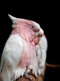 罗斯Breasted美冠鹦鹉 图库摄影