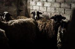 罗曼诺夫绵羊 免版税图库摄影