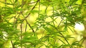 罗望子树叶子热带常青树 影视素材