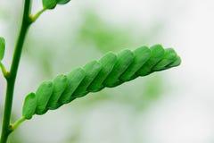 罗望子树叶子 库存照片