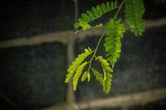 罗望子树叶子 库存图片