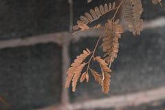 罗望子树叶子 图库摄影