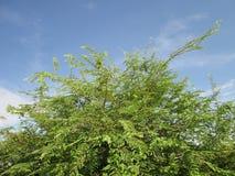 罗望子树和蓝天 库存图片