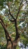 罗望子树在晚上阳光下 免版税库存照片
