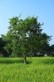 罗望子树在米农场 免版税库存图片