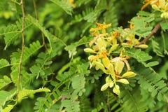 罗望子树花和绿色罗望子树叶子选择聚焦和被定调子的图象 免版税库存图片